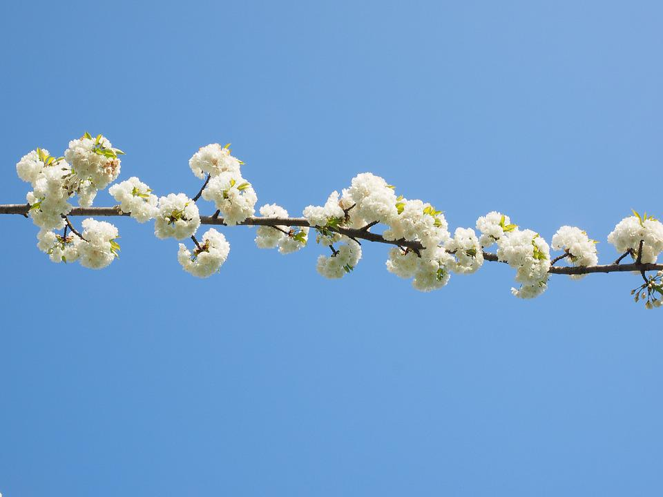 Cherry Blossom, White, Cherry Tree, Spring, Blossom