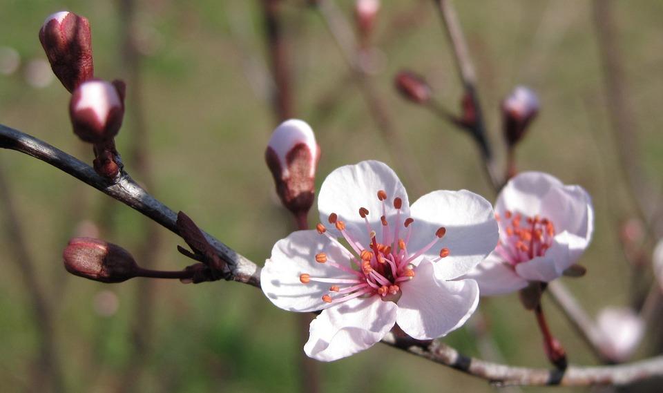 Plum Blossom, Cherry Blossom, Cherry, Tree, Plum