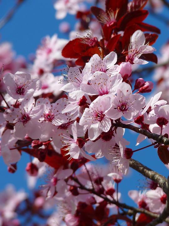 Tree, Flowers, Cherry Blossom, Japanese Cherry Tree