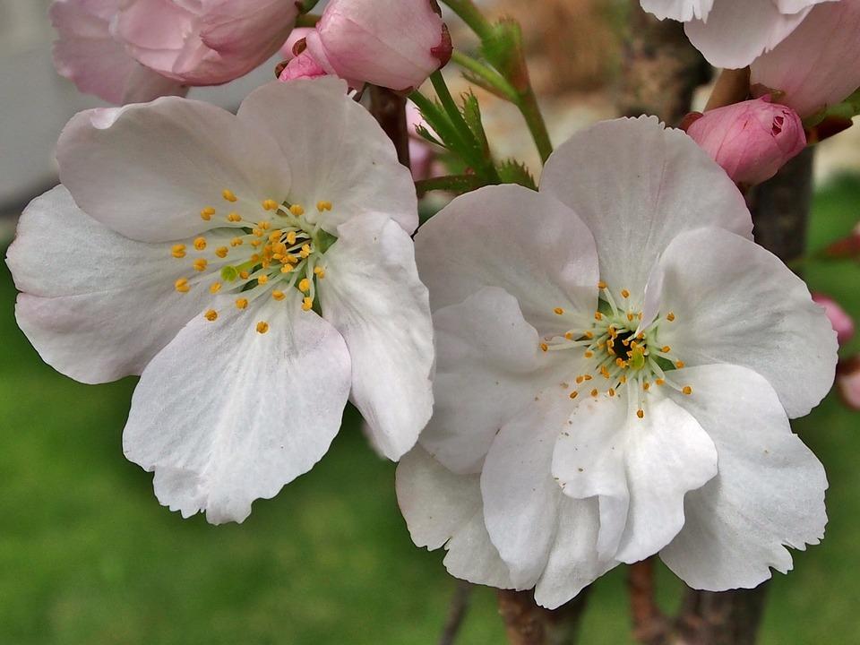 Flowers, Close, Cherry Blossom, Blossom, White Blossom