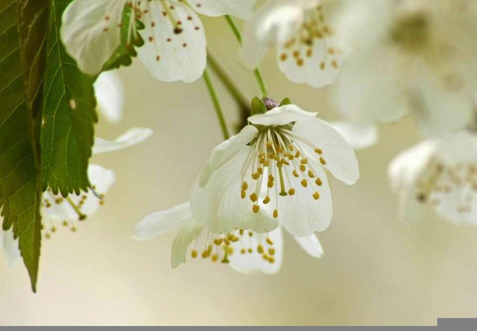 Cherry Blossom, Flowers, Spring, Petals, White Flowers