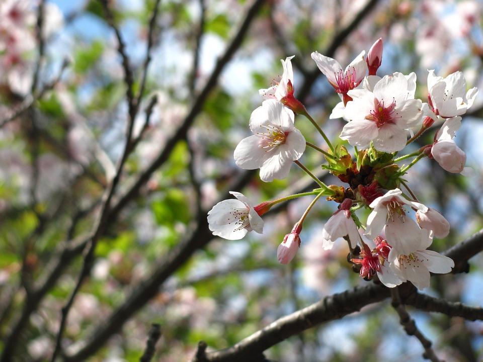 Cherry Blossom, Cherry Tree, Bloom, White, Sakura