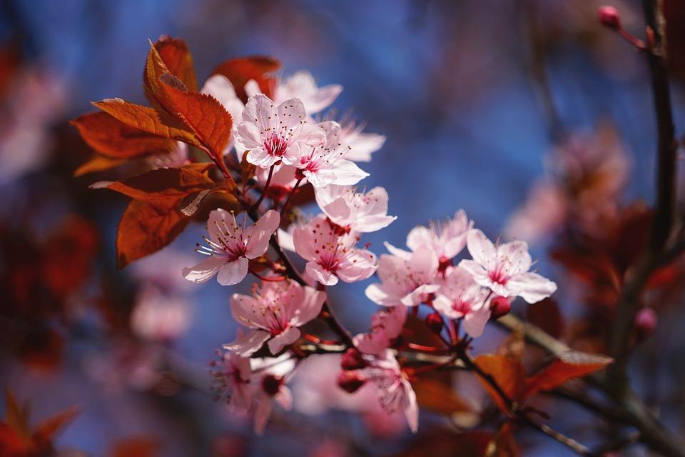 Cherry Blossom, Pink, White, Spring, Tree, Cherry Tree