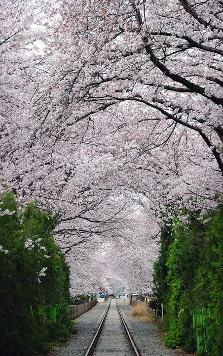 Cherry Blossom, Avenue, Railroad Tracks, Wood