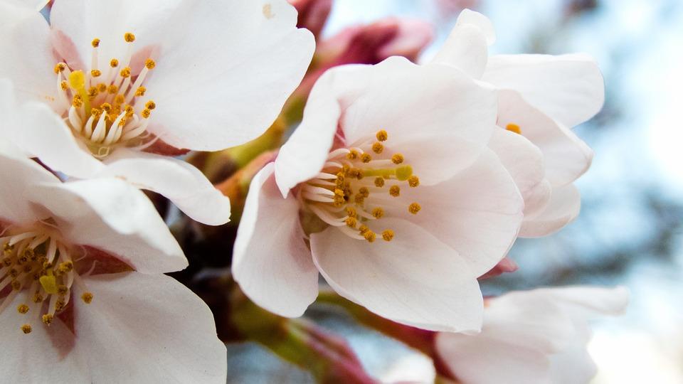 Cherry Blossoms, Spring, Spring Flowers, Blue Sky