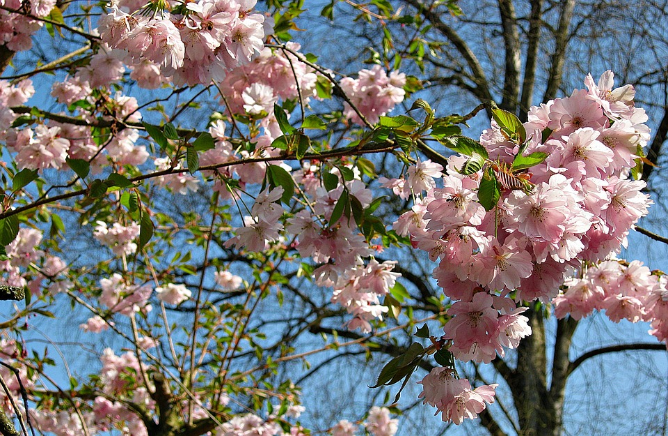Spring, Cherry Blossoms, Tree, Bush, Pink, Blossom