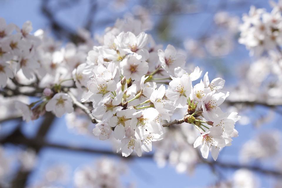 Cherry Blossoms, Cherry, Flower
