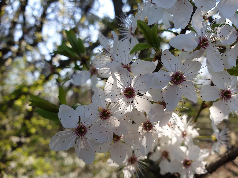 Cherry Blossoms, Cherry, Flowers, Cherry Tree, Spring
