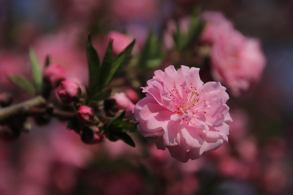 Cherry Blossoms, Pink Flowers, Flowers, Branches