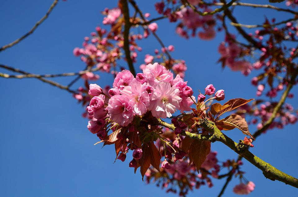 Japanese Flowering Cherry, Cherry Blossoms, Tree