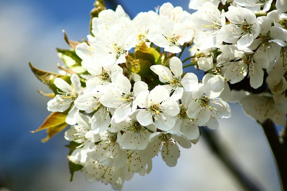 Cherry Blossoms, Macro, White, Spring, Blossom, Bloom