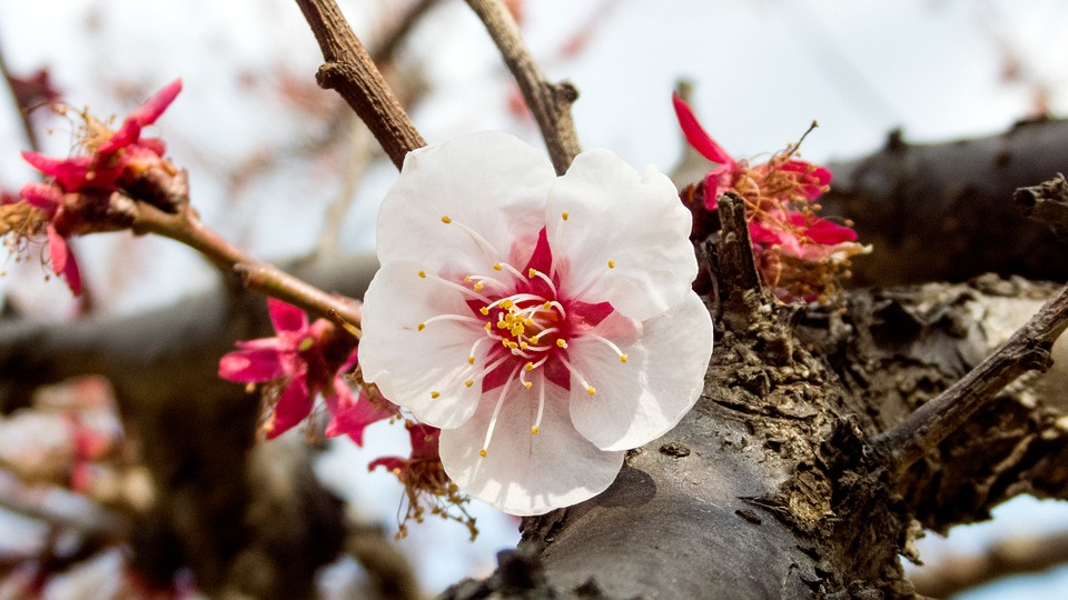 Cherry Blossoms, Spring, Spring Flowers, Macro