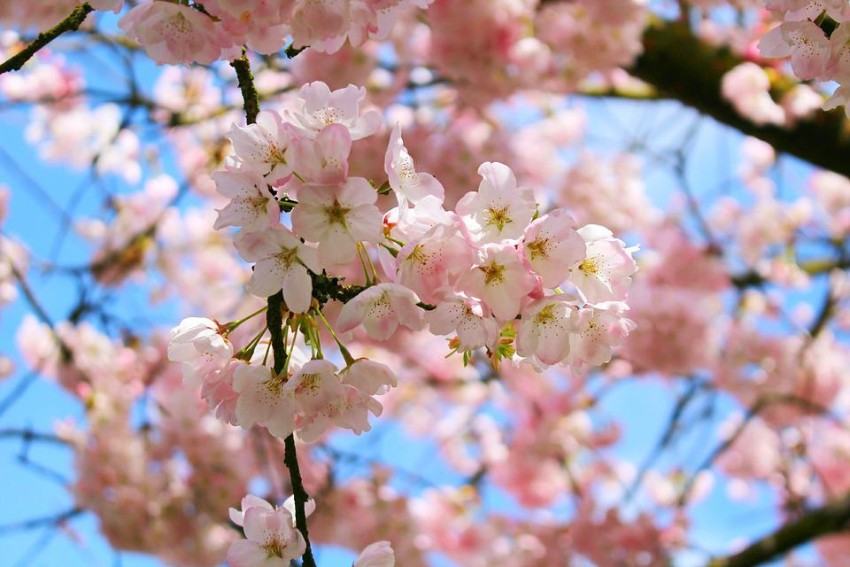 Cherry Blossoms, Spring, Pink, Blossom, Flower, Nature