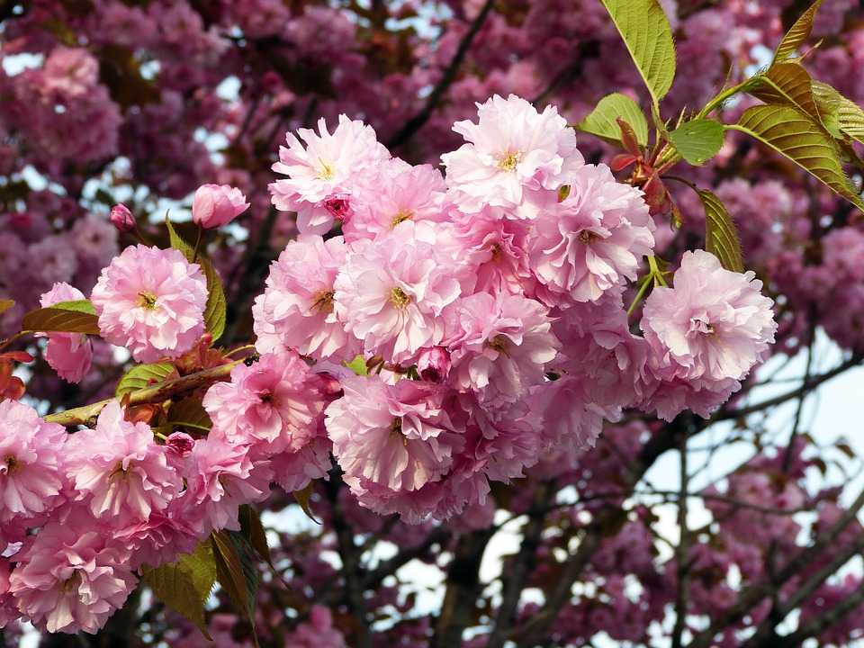 Sakura, Spring, Flowers, Cherry Blossoms, Nature