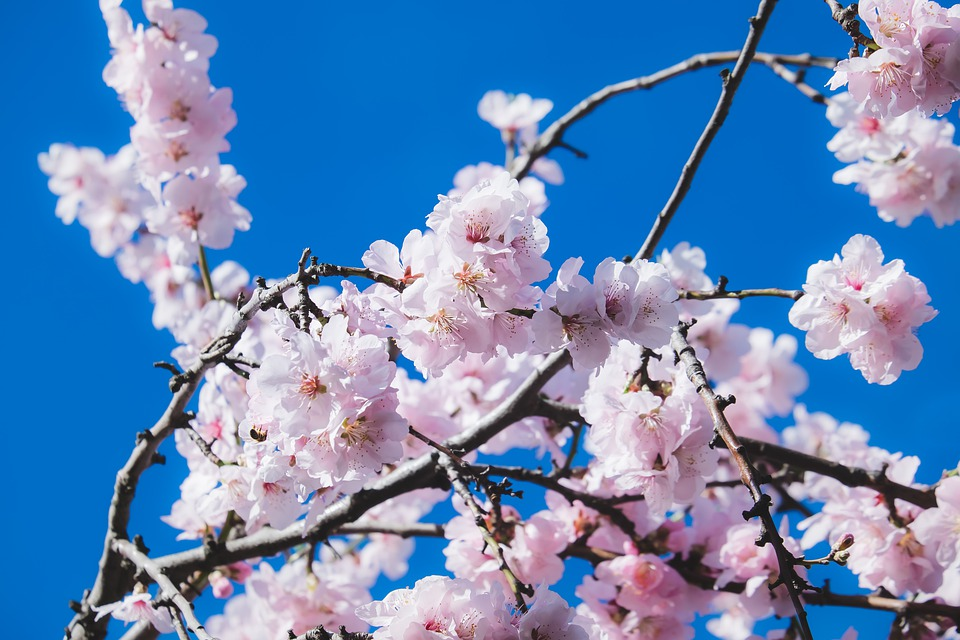 Cherry Blossoms, Flowers, Tree, Ornamental Cherry