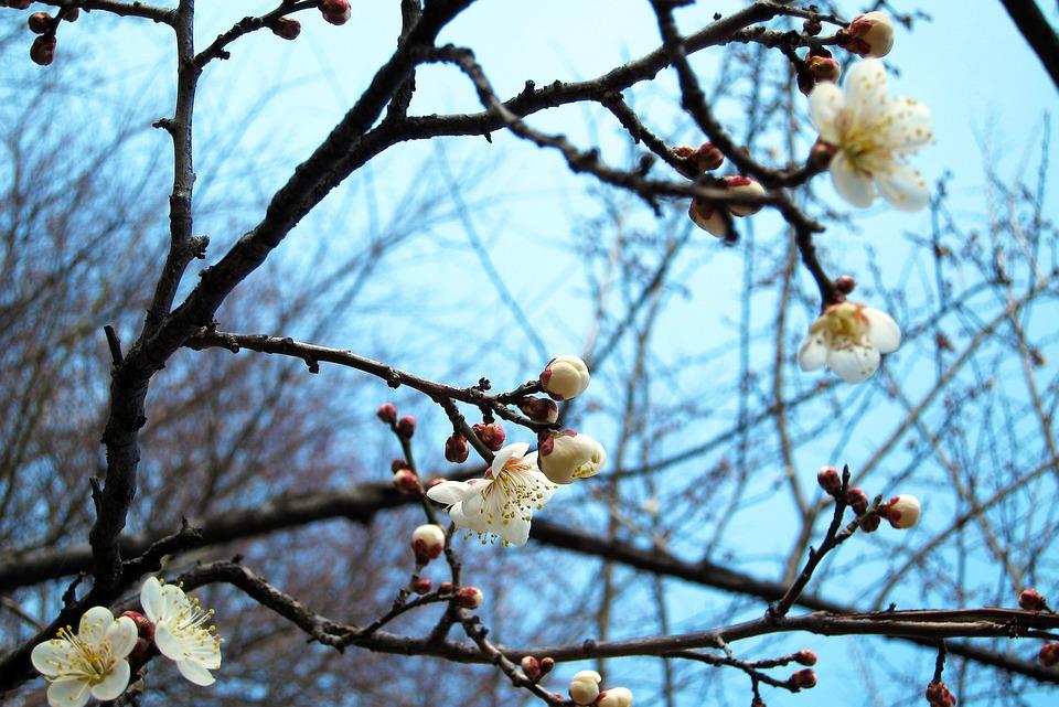 Flower, Sakura, Cherry Blossoms, White, Bloom, Branch