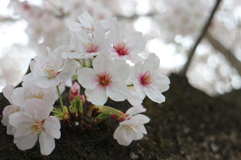 Cherry Blossoms, Spring, Flowers, Wood