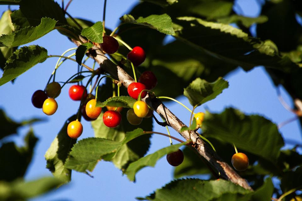 Cherries, Cherry, Wild, Tree, Flower, Fruit, Color