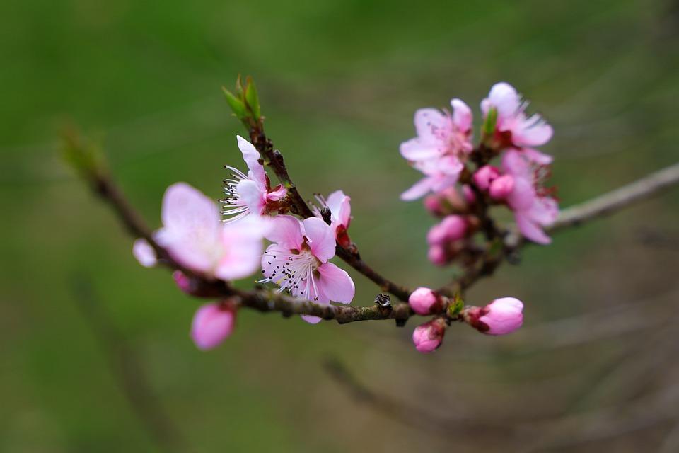 Cherry Blossom, Nature, Plant, Spring, Close Up, Cherry