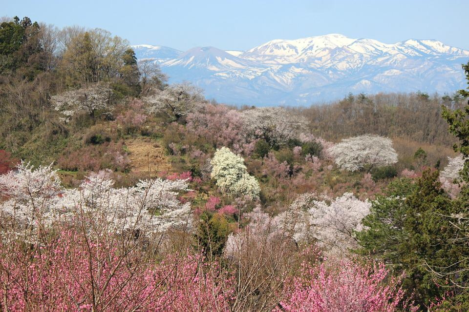 Fukushima, Cherry Blossom Viewing Mountains, Cherry