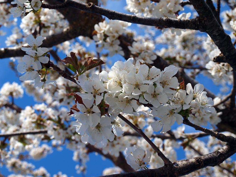Cherry, Cherry Blossom, Flowering, Flower Cherry