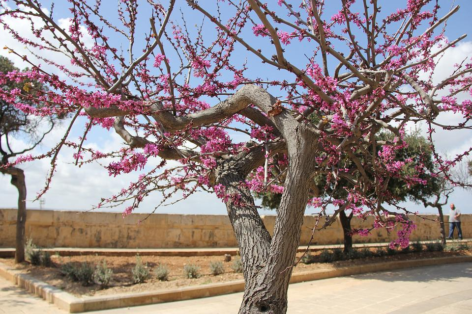 Tree, Branch, Cherry, Flower, Season