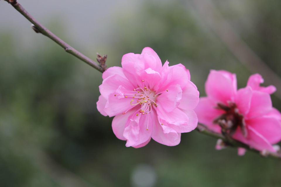 Cherry Flowers, Flower, Nice