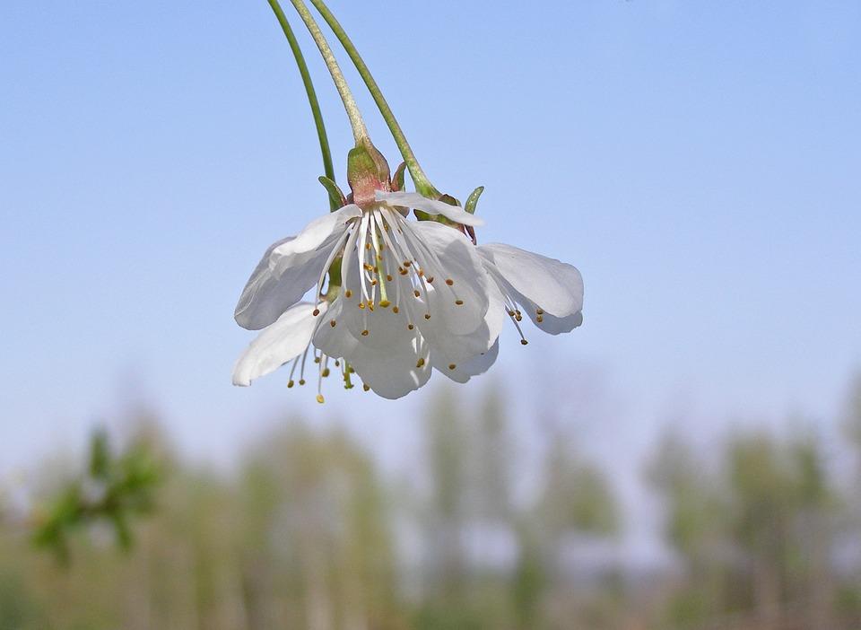 Flowering Tree, Cherry, Flowers, White, Flowering