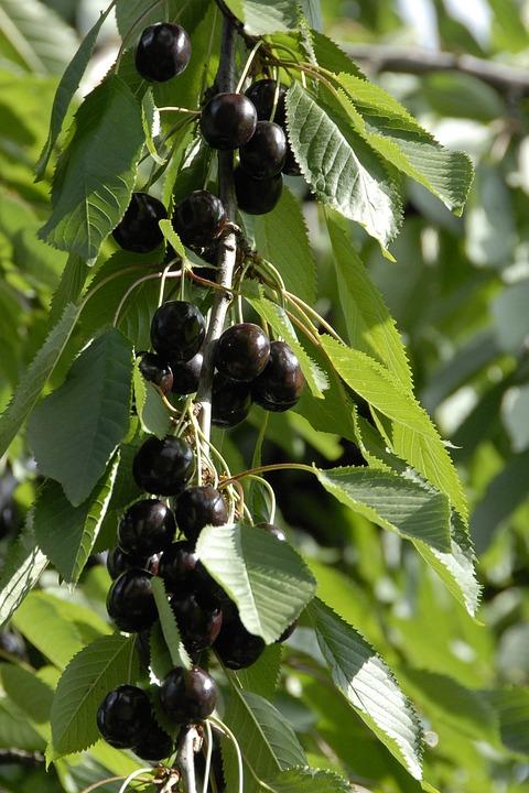Fruit, Cherry, Fruits, Black
