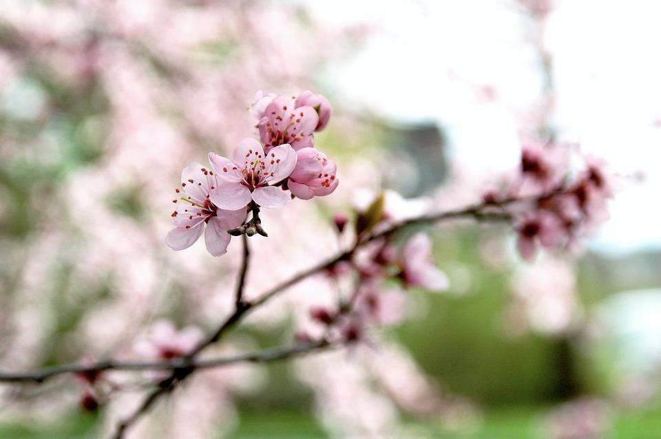 Nature, Cherry, Branch, Outdoor, Season, Spring, Nice