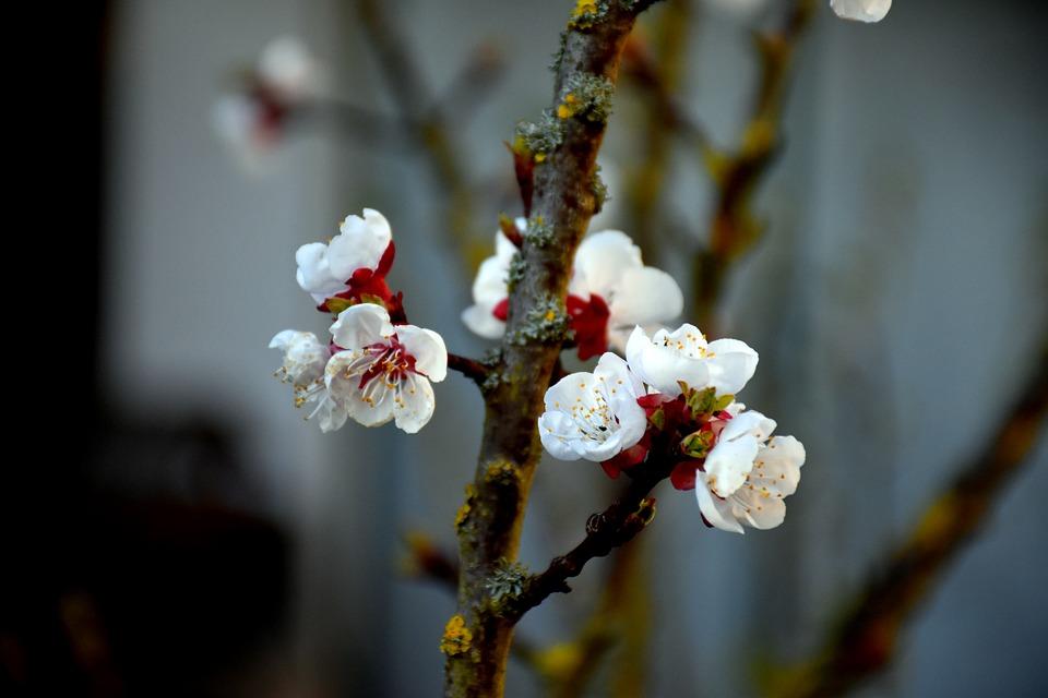 Flower, Spring, Tree, Blossom, Nature, White, Cherry