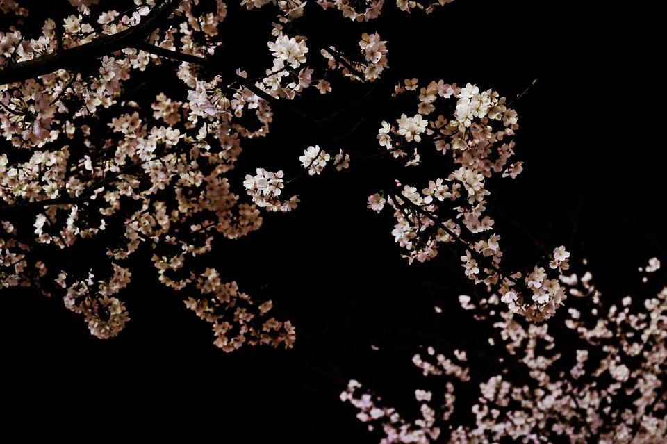 Cherry, Blossom, Tree, Night