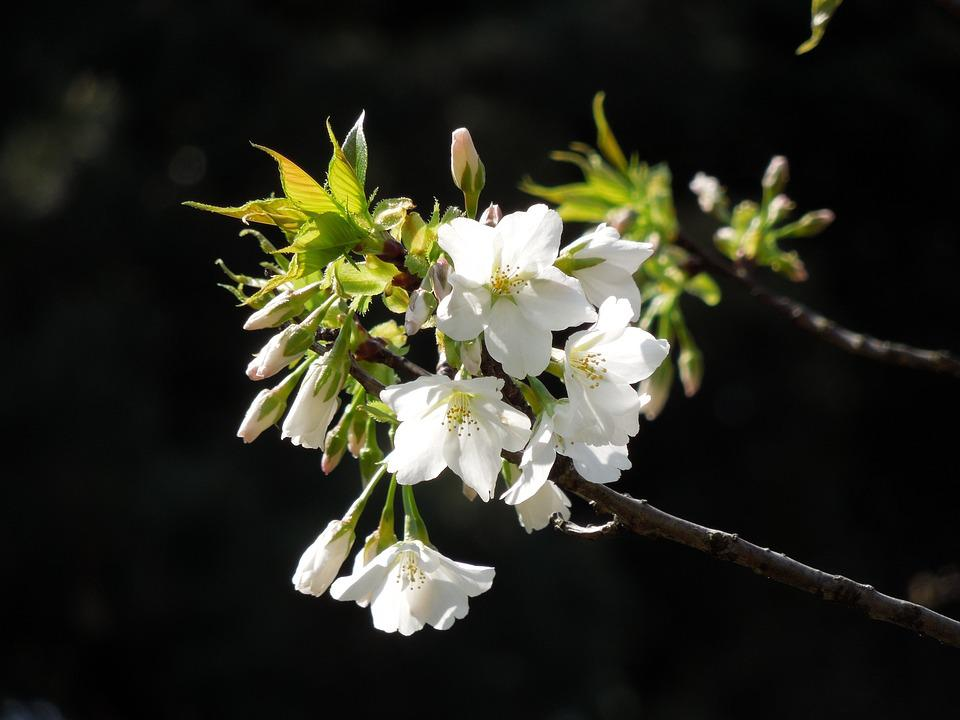 Cherry, Spring Flowers, Spring In Japan