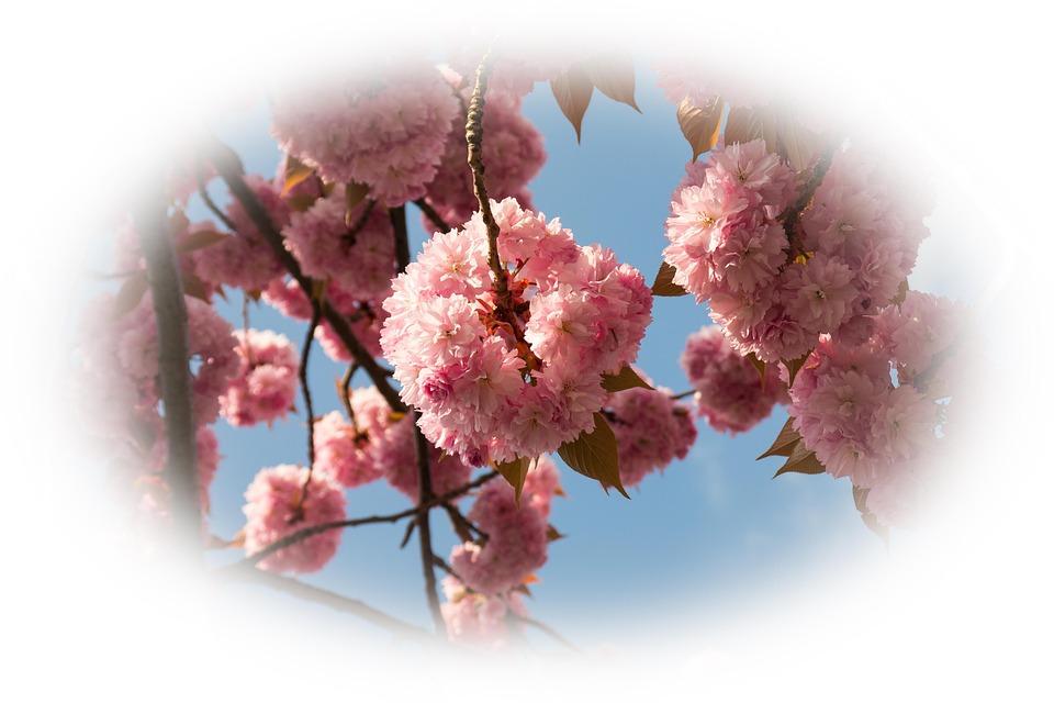 Cherry Blossom, Cherry, Ornamental Cherry, Spring