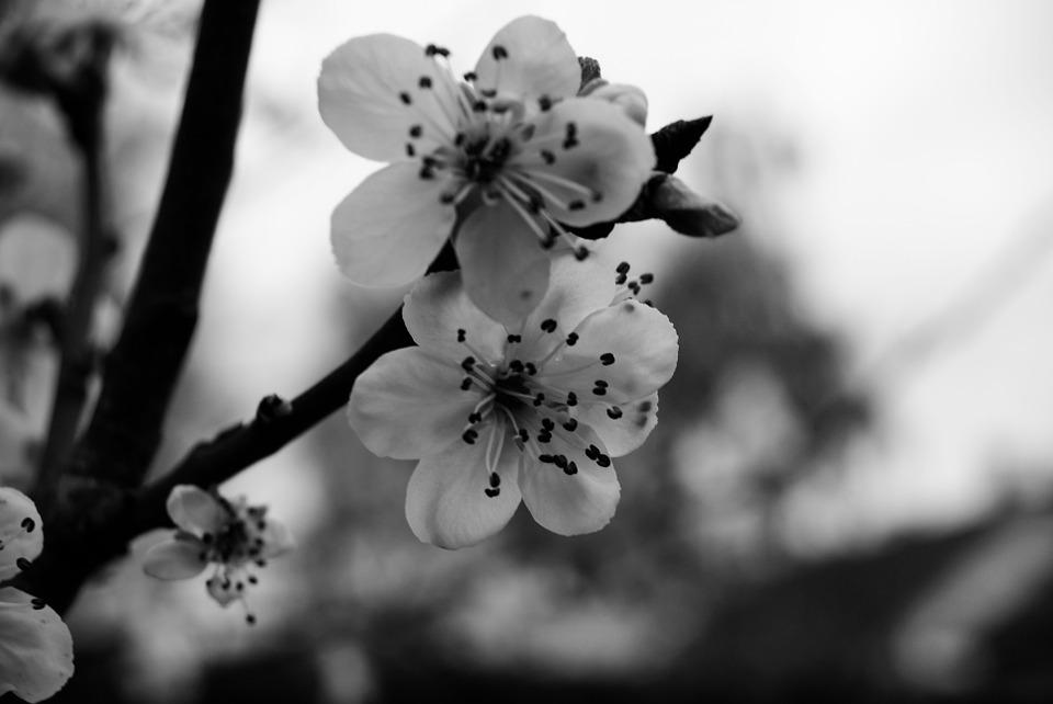 Cherry Black And White Flowers Sweetness Nature