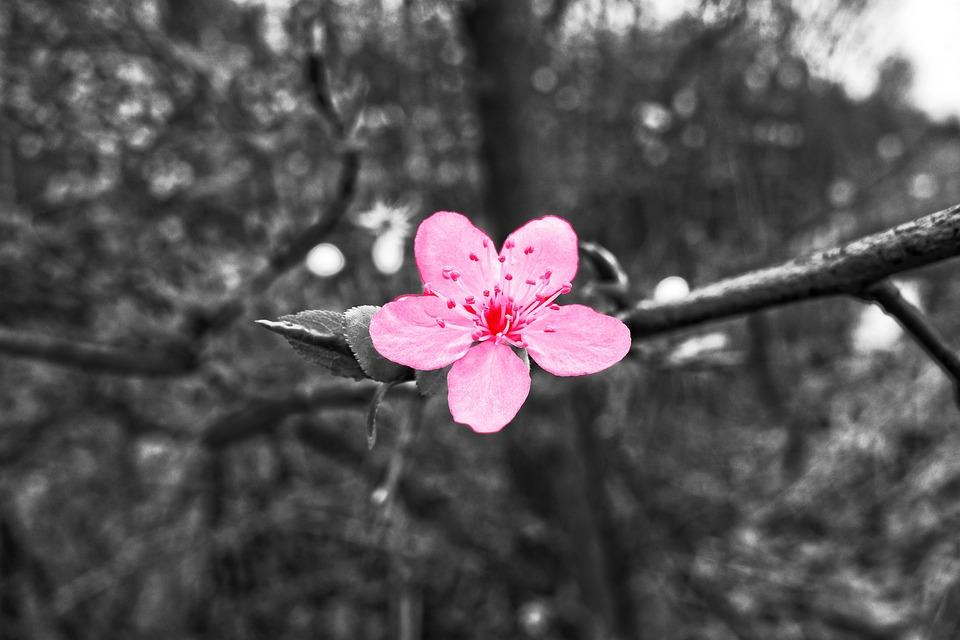 Cherry Blossom, Cherry Tree, Branch, Blossom, Blooming