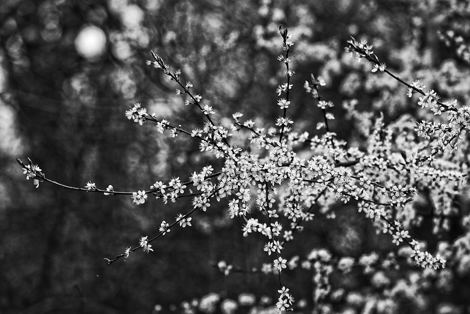 Cherry Blossom, Flower, Cherry Tree, Branch, Japanese