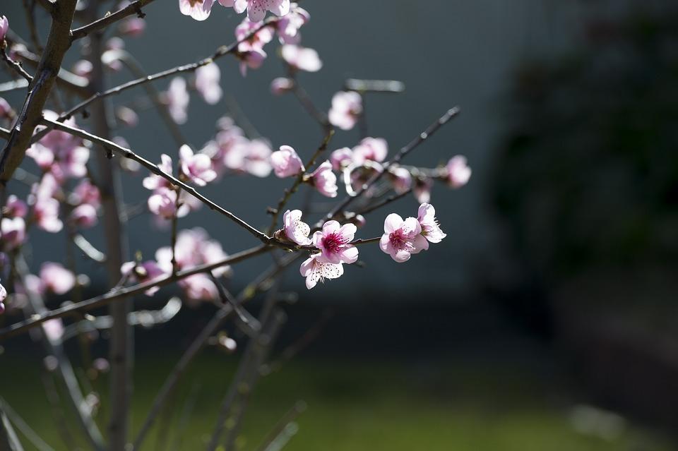 Pink, Cherry Blossom, Cherry, Spring, Blossom, Tree
