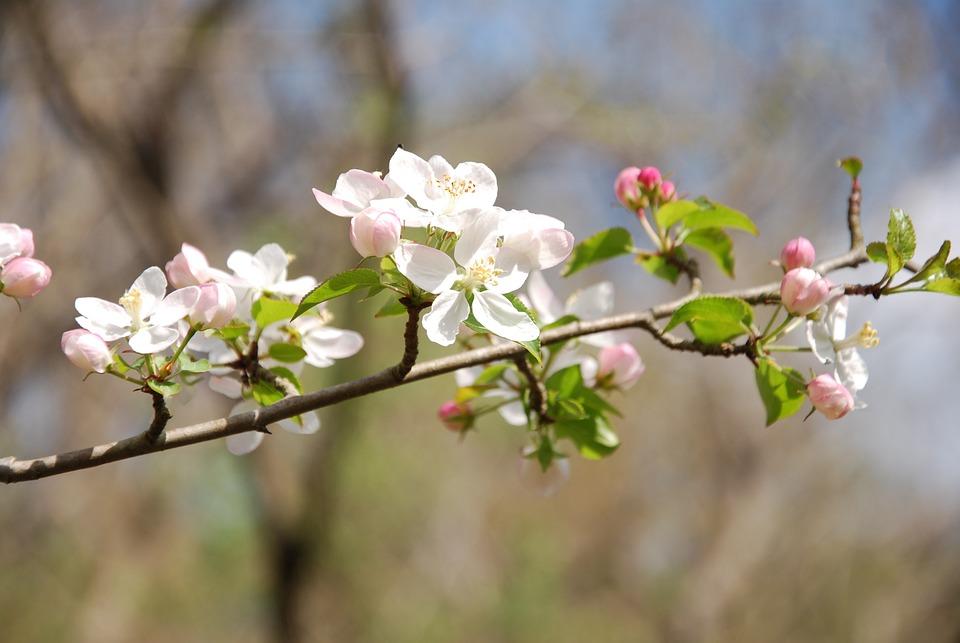 Tree, Flower, Cherry, Branch, Flora, Fruit Tree