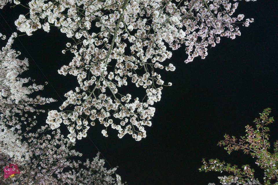 Flowers, Plants, Flowering, Floral, Petal, Cherry Tree