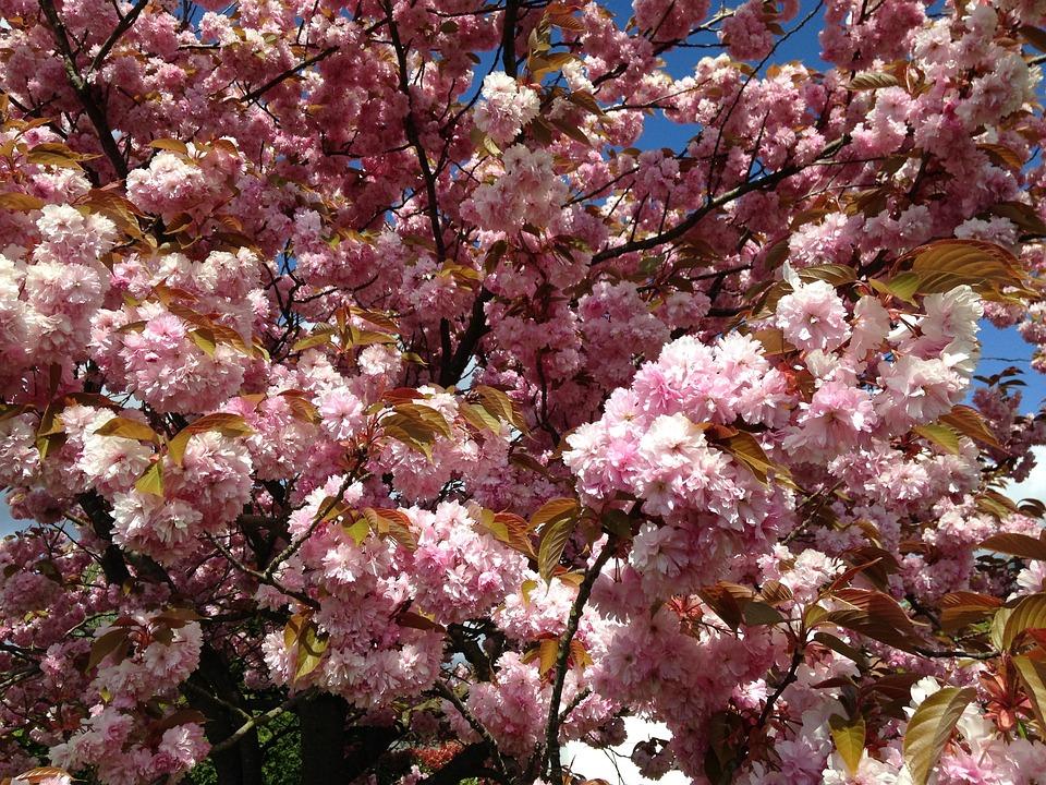 Cherry Tree, Flower, Pink, Tree, Spring, Nature