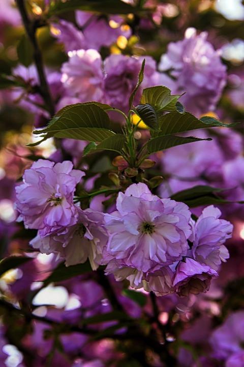 Tree, Foliage, Cherry Tree, Spring, Blossom