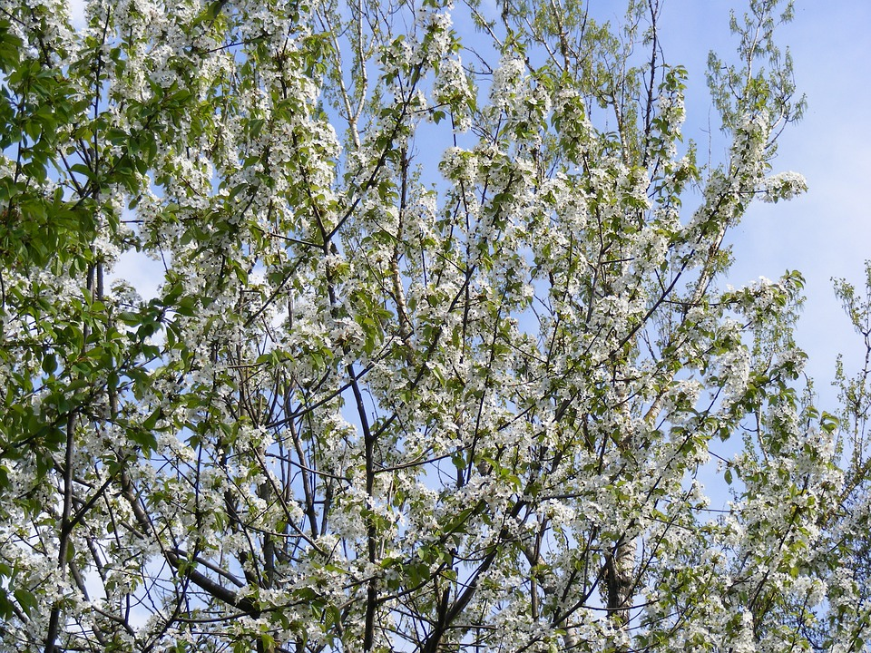 White, Cherry, Blossoms, Blooms, Tree, Branches