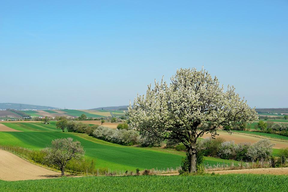 Nature, Tree, Cherry Trees, Blossom