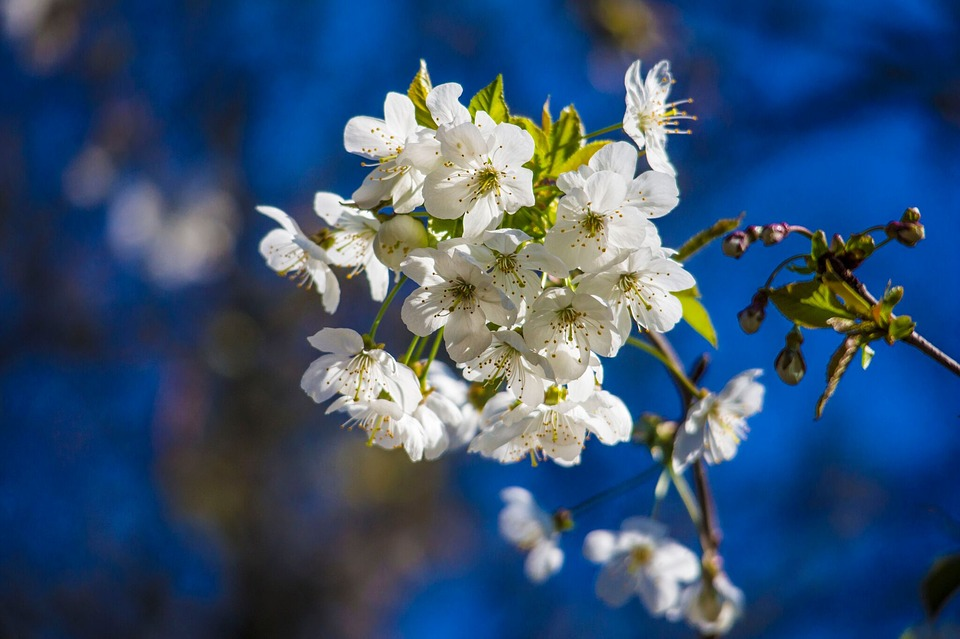 Spring, Cherry, Blossom, White, Flower, Blue, Sky