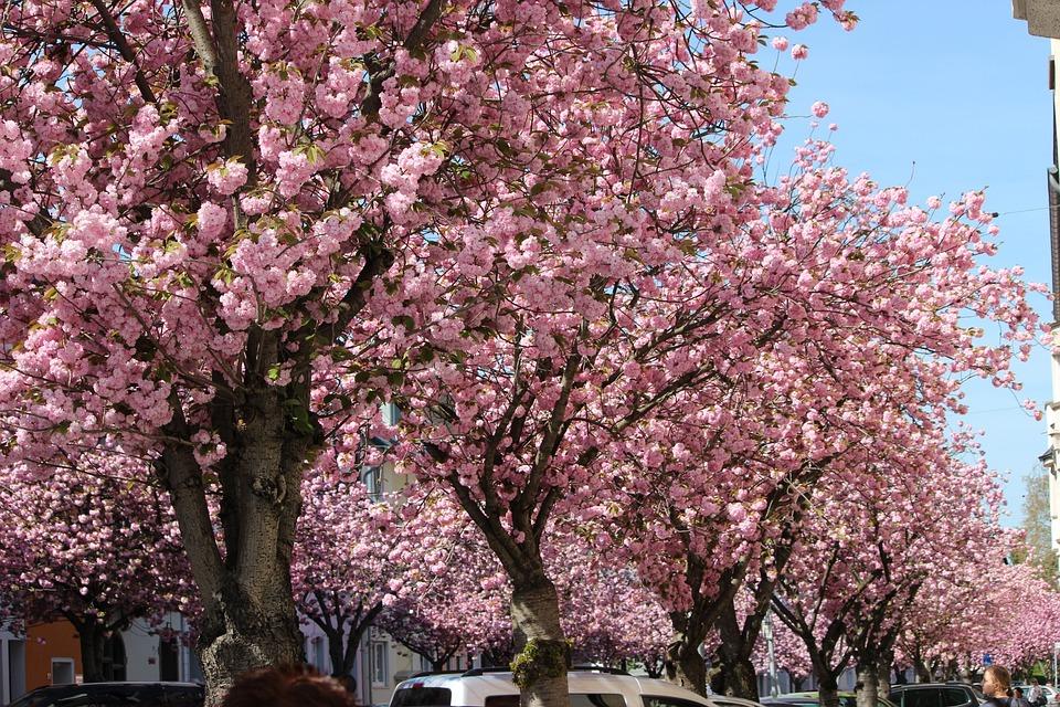 Cherry Wood, Tree, Branch, Flower, Season