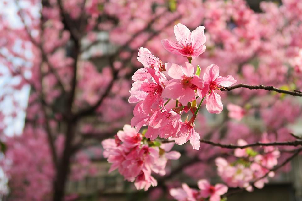 Flower, Cherry Wood, Branch, Tree, Season