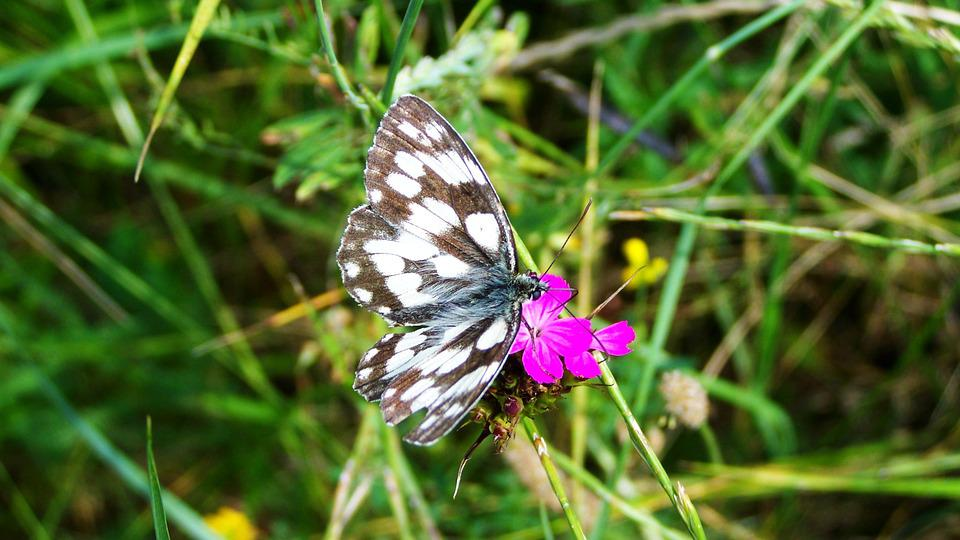 Chessboard Butterfly, Insect, Nature