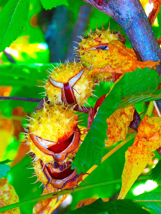 Chestnut, Chestnut Tree, Chestnut Leaves, Autumn