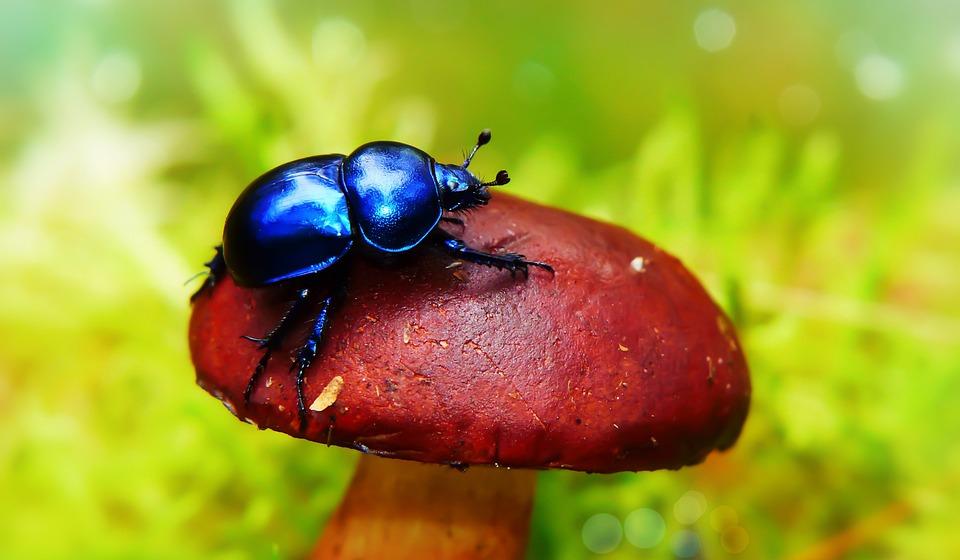 Forest Beetle, The Beetle, Antennae, Chestnut Boletus